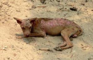 Nachtkerzenöl gegen Tierhautreizungen